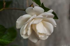 ROSA BIANCA    ----    WHITE ROSE (cune1) Tags: lazio italia italy canalemonterano macro fiori flowers natura nature rose