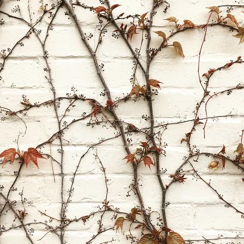 Vine and brick