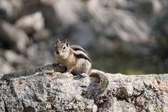 JLS09895 (Jenny Lynne Semenza) Tags: goldenmantledgroundsquirrel