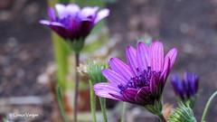 African Daisy (✿ Graça Vargas ✿) Tags: margarida daisy africandaisy purple macro flower graçavargas ©2017graçavargasallrightsreserved 15307060617 corfu greece