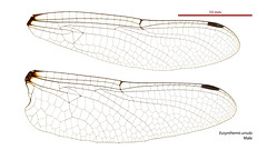 Eusynthemis ursula male wings