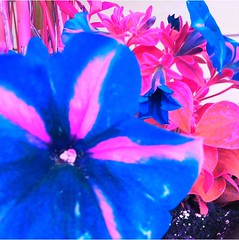 #pottunias #pottunia #flower #flowers #floweringtrees  #spring #psychedelic #psychedeliccolours #surreal #trippy #art #artistic #artsy #beautiful #simple (muchlove2016) Tags: pottunias pottunia flower flowers floweringtrees spring psychedelic psychedeliccolours surreal trippy art artistic artsy beautiful simple