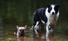 water babies (lisheeny) Tags: border collie chihuahua dog canine pet dogs pets water river