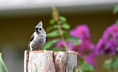 Tufty DSC_4075 (blthornburgh) Tags: thornburgh tampa florida sunshinestate songbird backyard nature outdoors garden bird titmouse tuftedtitmouse