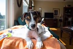 Our Dooley (marylea) Tags: apr22 2017 spring dooley parsonrussellterrier parsonrussell dog puppy prt jrt jackrussellterrier jackrussell terrier 15weeksold