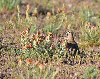 Horned lark on Seedskadee National Wildlife Refuge