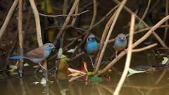 Béa-Estrilda (uraeginthus) bengala - Red-cheeked cordon-bleu - Cordon-bleu (lucetbea22) Tags: senegal estrilda uraeginthus bengala redcheeked cordonbleu