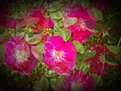 Cottage rose illusion (MissyPenny) Tags: flowers roses garden pdlaich pennsylvania usa pink photoplay