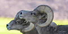Changing of the Guard (craig goettsch) Tags: ram desertbighornsheep animal mammal wildlife nature nikon d500 sunrays5