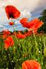 _AD16091_new (Antonio De Martis) Tags: altreparolechiave fiori papaveri