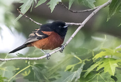 Orchard Oriole (Ruthie Kansas) Tags: