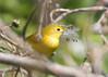 _53F6822 Yellow Warbler (~ Michaela Sagatova ~) Tags: birdphotography canonphotography michaelasagatova yellowwarbler