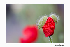 Le Chapeau Coquet Du Coquelicot / The Pretty Hat Of The Poppy (Thierry De Neys - Photographies) Tags: thierrydeneys hainaut belgique belgïe belgium brainelecomte sgravenbrakel coquelicot chapeau hat poppy rouge vert bokeh rood red green groen macro iriser poil ouvrir éclosion open bloem fleur flower