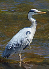 Water of Leith Heron