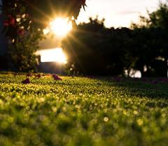 Bokeh (dan.kristiansen) Tags: bokeh grass gras lowsun lavsol evening kveld summer sommer depthoffield sun sol
