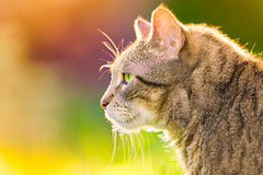 warm light ... cool cat (JimfromCanada) Tags: cat kitten feline warm light serene cool king confidence confident summer laidback control eyes iris bokeh