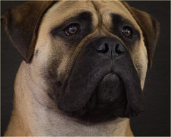 bull mastiff portrait face black mask intent dignified
