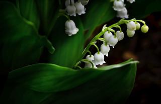 Hidden Beauties - Lilies of the Valley