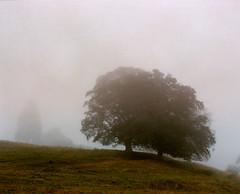 Trees on a Misty Hill (6x7) (Benjamin Driver) Tags: pentax pentax67 6 7 6x7 mediumformat medium format film portra portra160 160 tree trees mist 105mm f24 landscape colour green scan lakedistrict england 120 vintage