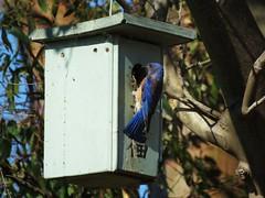 Western Bluebird (m) - Madrona Marsh (weezerbee9) Tags: westernbluebird