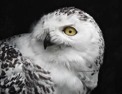 Búho nival (josuneetxebarriaesparta) Tags: hontza snowyowl búhonival buboscandiacus hegaztia tundra artico bird txoria ave