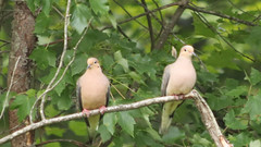 Dove Couple (blazer8696) Tags: 2017 brookfield ct connecticut ecw obtusehill t2017 table usa unitedstates columbidae columbiformes dove macroura modo mourning mourningdove zenaida zenaidamacroura zenmac img1710 male female bird couple