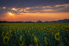 Before sunrise (Flutechill) Tags: nature yellow agriculture ruralscene field sky landscape summer outdoors farm plant growth sunset flower beautyinnature meadow sunlight crop sunflower sun skyline cloud clouds thailand lopburi travel tourist exploration