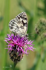 Marbled white- explored#232-- 20.06.17 (~ **Barbara ** ~) Tags: marbledwhite butterfly flower wildflower wildlife summer june sunshine hot twywellhillsdales cranford northants uk explored inexplore