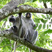Colobus in Jozani Chwaka Bay National Park