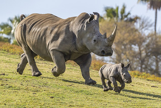 Rhino Born Thanks to Science