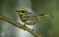 Dawson Road (Townsend's Warbler) (The Owl Man) Tags: