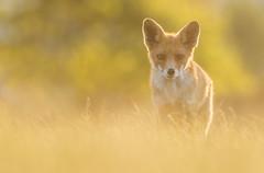 Sun set Red Fox (Wouter's Wildlife Photography) Tags: redfox fox animal mammal predator nature naturephotography wildlife wildlifephotography scheveningen sunset vixen vulpesvulpes