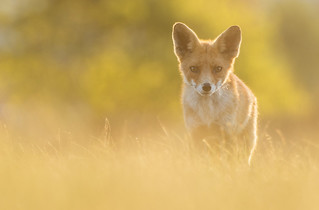 Sun set Red Fox
