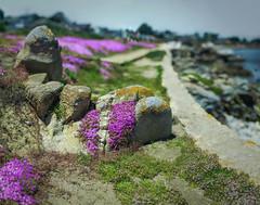 Echium Wall (Steven Hight) Tags: sonya7s canon85mmf12 bokehpanorama echium pacificgrove