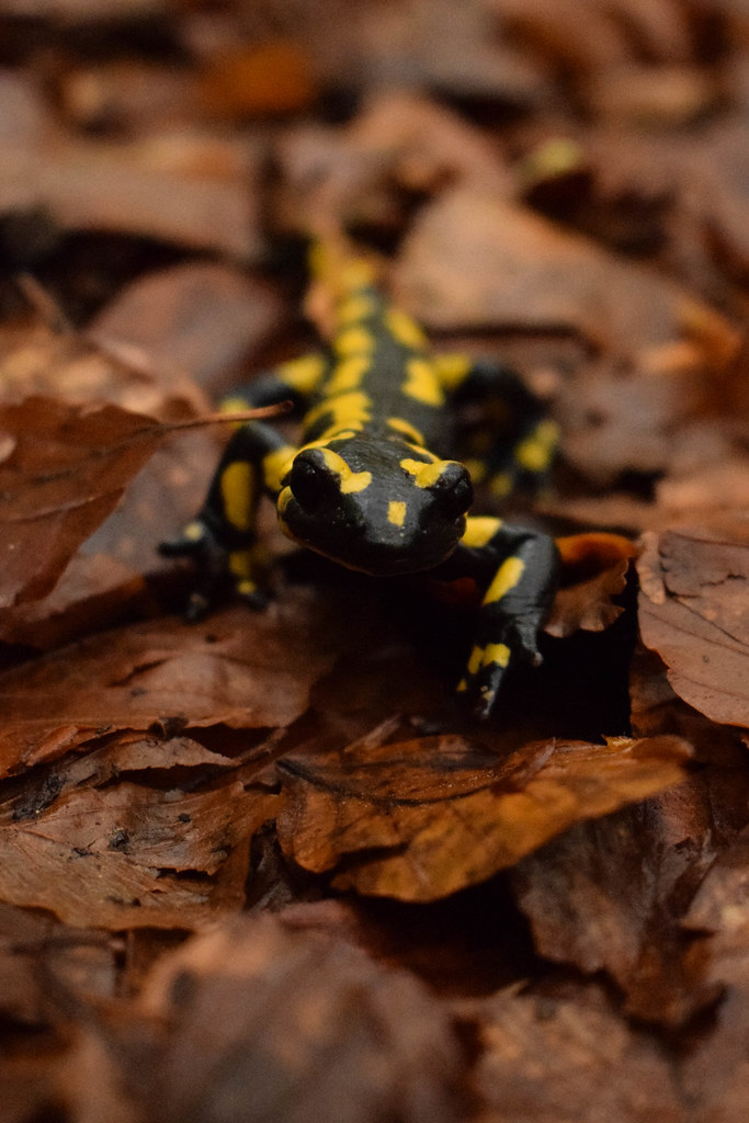 the world s best photos of animal and salamander flickr