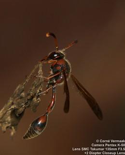 2017-05-25 Potter Wasp (Afreumenes aethiopicus) 5279
