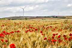 buon giorno papaveri - Good morning poppies. (albygent Alberto Gentile) Tags: paesaggio landscape papaveri poppies red rosso giallo canoneos6d sky cielo clouds campagna countryside country