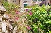92 - Split, Croatie, Mai 2017 - des fleurs sauvages dans la vieille ville