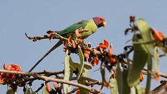 0595 Pflaumenkopfsittich - Plum-headed Parakeet (uwizisk) Tags: india indien pflaumenkopfsittichpsittaculacyanocephala plumheadedparakeet ranthambhorenationalpark
