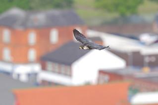 9P1A2526  Peregrine Falcon, female (Manchester)