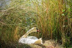 A Nest On The Bank (Robert F. Carter Travels) Tags: lakeland florida swan swans muteswan muteswans cygnusolor nest nests lakemorton grass grasses white green