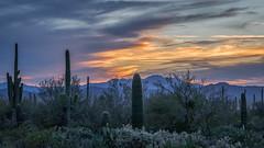 Cactus Dusk (Kirk Lougheed) Tags: arizona carnegieagigantea opuntia pimacounty saguaro saguaronationalpark saguarowest sonorandesert tucsonmountaindistrict usa unitedstates cactus cholla desert dusk landscape nationalpark outdoor paloverde plant pricklypear sonoran sunset