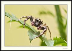 Araña saltadora - Jumping spider (J. Amorin) Tags: arañas insectos tabascomexico arañasaltadora jumpingspider amorin macro canon7d canon10028macro