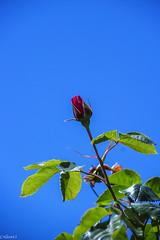Bouton de rose... (Crilion43) Tags: arbres région véreaux feuillesfeuillage ciel fleursetplantes centre paysages rosier roses massif nuages villes