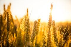 Sunset on wheat (Zeeyolq Photography) Tags: agriculture bio corn harvest organicfood sunlight wheat milizac bretagne field