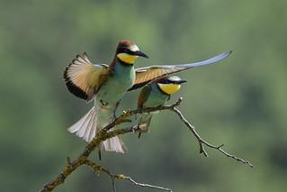 Gruccioni - Bee eaters