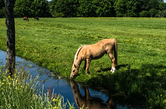 And thou shalt drinketh the water . . (Eduard van Bergen) Tags: holland netherlands niederlande nederland pays bas living water road flashing flash time past horses pferde cheval rosse chevalier chevaux happy stallion mare colt voal habitat hippisch hipico equestrian walking meadow friend outdoor animal grassland field landscape grass photo border serene endless riding long friends guy station horseback mustang polder beautiful pentax k5 smc strolling stroll light mr mister sir alblasserwaard molenwaard liesveld bikker dutch semental garanhao hazitarako hingst ori étalon ždrijebac equo armăsar