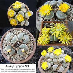 Lithops geyeri (collage)
