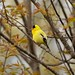Cloudy Day Goldfinch