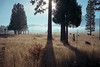 (patrickjoust) Tags: burney california fujicagw690 kodakportra160 6x9 medium format 120 c41 color negative film fujinon 90mm f35 lens manual focus analog mechanical patrick joust patrickjoust usa us united states north america estados unidos rural ca northern tree shadow cows field kodak portra 160 fujica gw690